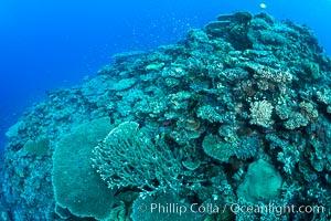 Pristine coral reef composed of many species of hard corals, 60' (20m) deep, Fiji. Wakaya Island, Lomaiviti Archipelago, Fiji, natural history stock photograph, photo id 31763