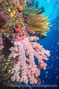 Image 31339, Pristine South Pacific tropical coral reef, with vibrant colorful dendronephthya soft corals, crinoids and schooling Anthias fishes, pulsing with life in a strong current over a pristine coral reef. Fiji is known as the soft coral capitlal of the world. Namena Marine Reserve, Namena Island, Dendronephthya sp., Pseudanthias, Crinoidea, Phillip Colla, all rights reserved worldwide.   Keywords: echinodermata:actinopterygii:alcyonacea:animalia:anthias:anthiinae:anthozoa:carnation coral:chordata:cnidaria:coral:coral reef:crinoid:crinoidea:crinozoa:dendronephthya:echinoderm:fiji:fiji islands:fijian islands:fish:island:lyretail anthias:marine:marine reserve:namena island:namena marine reserve:nature:nephtheidae:oceania:pacific ocean:perciformes:pseudanthias squamipinnis:reef:reserve:school:serranidae:soft coral:south pacific:tree coral:tropical:underwater:animal:marine invertebrate.