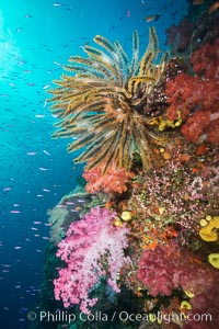 Pristine South Pacific tropical coral reef, with vibrant colorful dendronephthya soft corals, crinoids and schooling Anthias fishes, pulsing with life in a strong current over a pristine coral reef. Fiji is known as the soft coral capitlal of the world, Dendronephthya, Pseudanthias, Crinoidea, Namena Marine Reserve, Namena Island