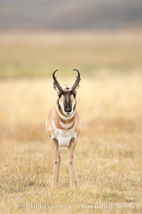 The Pronghorn antelope is the fastest North American land animal, capable of reaching speeds of up to 60 miles per hour. The pronghorns speed is its main defense against predators, Antilocapra americana, Lamar Valley, Yellowstone National Park, Wyoming