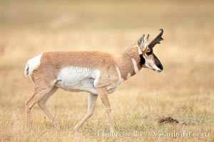The Pronghorn antelope is the fastest North American land animal, capable of reaching speeds of up to 60 miles per hour. The pronghorns speed is its main defense against predators. Lamar Valley, Yellowstone National Park, Wyoming, USA, Antilocapra americana, natural history stock photograph, photo id 19633