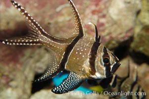 Banggai Cardinalfish.  Once thought to be found at Banggai Island near Sulawesi, Indonesia, it has recently been found at Lembeh Strait and elsewhere.  The male incubates the egg mass in his mouth, then shelters a brood of 10-15 babies in his mouth after they hatch, the only fish known to exhibit this behaviour.  Unfortunately, the aquarium trade is threatening the survival of this species in the wild., Pterapogon kauderni, natural history stock photograph, photo id 08902