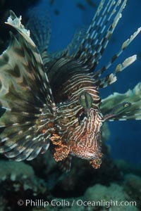 Lionfish. Egyptian Red Sea, Egypt, Pterois miles, natural history stock photograph, photo id 05264