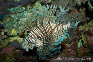 Lionfish., Pterois miles, natural history stock photograph, photo id 11821