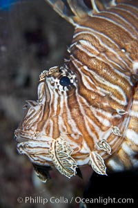 Lionfish., Pterois miles, natural history stock photograph, photo id 14508