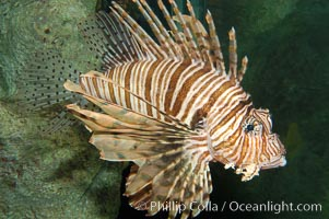 Lionfish., Pterois volitans, natural history stock photograph, photo id 08863