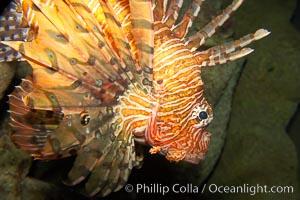 Lionfish., Pterois volitans, natural history stock photograph, photo id 12927