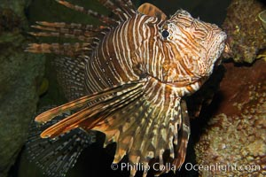 Image 12930, Lionfish., Pterois volitans, Phillip Colla, all rights reserved worldwide. Keywords: animal, creature, dangerous, fish, fish anatomy, indo-pacific, lionfish, lionfish or turkeyfish, marine, marine fish, nature, ocean, pterois volitans, sea, spine, teleost fish, turkeyfish, underwater, venom, venomous, wildlife.