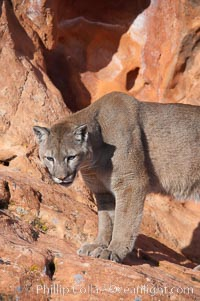 Mountain lion., Puma concolor, natural history stock photograph, photo id 12344
