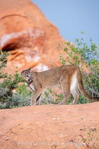 Mountain lion., Puma concolor, natural history stock photograph, photo id 12350