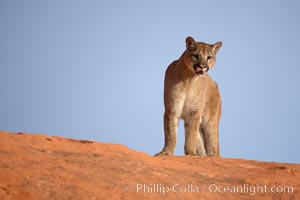 Mountain lion., Puma concolor, natural history stock photograph, photo id 12373