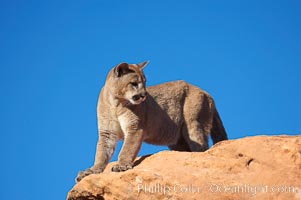 Mountain lion, Puma concolor