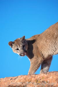 Image 12381, Mountain lion., Puma concolor, Phillip Colla, all rights reserved worldwide. Keywords: animal, animalia, carnivora, carnivore, catamount, chordata, concolor, cougar, creature, deer tiger, felidae, feliformia, felinae, le�n, le�n americano, le�n bayo, le�n colorado, le�n de monta�a, mammal, mitzli, mountain lion, moutain lion, nature, onza bermeja, panther, puma, puma concolor, red tiger, vertebrata, vertebrate, wildlife.