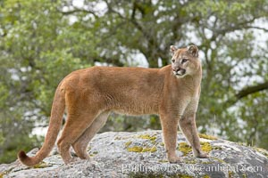 Mountain lion, Sierra Nevada foothills, Mariposa, California., Puma concolor, natural history stock photograph, photo id 15791