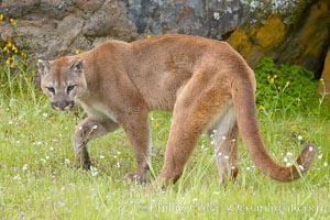 Mountain lion, Sierra Nevada foothills, Mariposa, California., Puma concolor, natural history stock photograph, photo id 15794