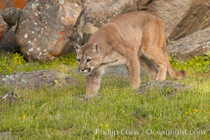 Mountain lion, Sierra Nevada foothills, Mariposa, California., Puma concolor, natural history stock photograph, photo id 15796