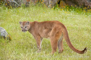 Mountain lion, Sierra Nevada foothills, Mariposa, California., Puma concolor, natural history stock photograph, photo id 15798