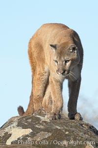 Mountain lion, Sierra Nevada foothills, Mariposa, California., Puma concolor, natural history stock photograph, photo id 15801