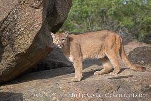 Mountain lion, Sierra Nevada foothills, Mariposa, California., Puma concolor, natural history stock photograph, photo id 15811