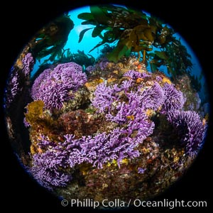 California reef covered with purple hydrocoral (Stylaster californicus, Allopora californica), Stylaster californicus, Allopora californica, Catalina Island