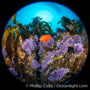 California reef covered with purple hydrocoral (Stylaster californicus, Allopora californica) and palm kelp, with orange garibaldi fish whizzing by, Catalina Island, Stylaster californicus, Allopora californica
