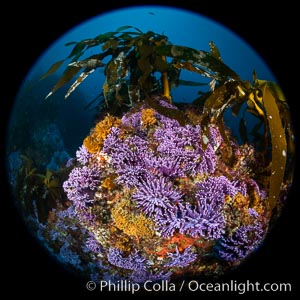 California reef covered with purple hydrocoral (Stylaster californicus, Allopora californica). Catalina Island, USA, Allopora californica, Stylaster californicus, natural history stock photograph, photo id 37183
