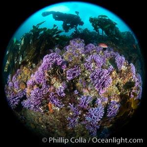 Purple hydrocoral  Stylaster californicus, Farnsworth Banks, Catalina Island, California, Allopora californica, Stylaster californicus
