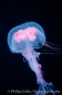 Purple jellyfish, open ocean, Pelagia noctiluca, Guadalupe Island (Isla Guadalupe)