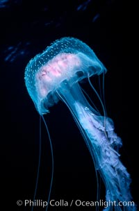 Purple jellyfish, open ocean. Guadalupe Island (Isla Guadalupe), Baja California, Mexico, Pelagia noctiluca, natural history stock photograph, photo id 06210