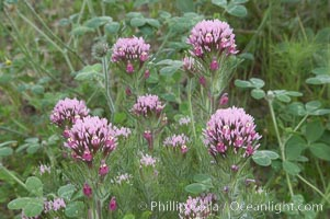 Purple owls clover blooms in spring. San Elijo Lagoon, Encinitas, California, USA, Castillejo exserta, natural history stock photograph, photo id 11520