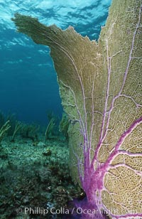 Image 05359, Purple sea fan. Bahamas, Gorgonia ventalina, Phillip Colla, all rights reserved worldwide. Keywords: animal, atlantic, bahamas, coral, environment, gorgonia ventalina, gorgonian, invertebrate, landscape, marine invertebrate, nature, ocean, oceans, outdoors, outside, purple gorgonean, purple sea fan, scene, scenery, scenic, sea fan, seascape, soft coral, underwater, underwater landscape, wildlife.