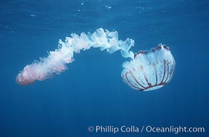 Purple-striped jellyfish. San Diego, California, USA, Chrysaora colorata, natural history stock photograph, photo id 03775