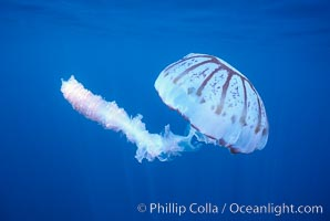 Purple-striped jellyfish. San Diego, California, USA, Chrysaora colorata, natural history stock photograph, photo id 03777