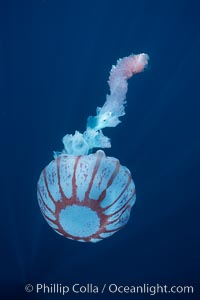 Purple-striped jellyfish, Chrysaora colorata, San Diego, California