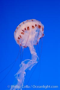 Purple-striped jelly., Chrysaora colorata, natural history stock photograph, photo id 08973