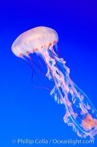 Purple-striped jelly., Chrysaora colorata, natural history stock photograph, photo id 14921
