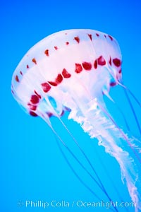 Purple-striped jelly, Chrysaora colorata, natural history stock photograph, photo id 21513