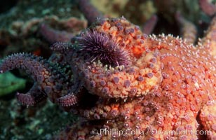 Purple urchin attacked by starfish, Coronados, Strongylocentrotus purpuratus, Coronado Islands (Islas Coronado)
