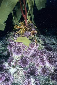 Image 03404, Purple urchins destroying/eating giant kelp holdfast. Santa Barbara Island, California, USA, Strongylocentrotus purpuratus, Macrocystis pyrifera, Phillip Colla, all rights reserved worldwide. Keywords: air bladder, algae, animal, animal in kelp, blade, bubble, california, channel islands, channel islands national marine sanctuary, creature, echinoderm, float, forest, frond, frond stipe pneumatocyst detail, gas, giant kelp, habitat, invertebrate, kelp, kelp forest, leaf, macrocystis, macrocystis pyrifera, marine, marine algae, marine invertebrate, marine plant, national marine sanctuaries, nature, ocean, oceans, outdoors, outside, pacific, pacific ocean, plant, pneumatocyst, pneumatocysts, purple urchin, santa barbara island, sea, sea urchin, seaweed, strongylocentrotus purpuratus, underwater, usa, wildlife.