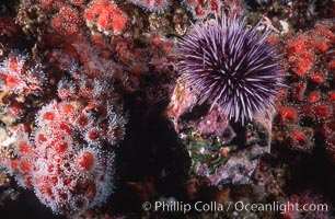 Purple urchin and strawberry anemones on rocky California reef. California, USA, Strongylocentrotus purpuratus, Corynactis californica, natural history stock photograph, photo id 03799