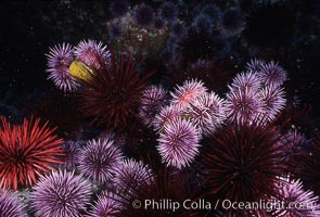 Purple and red urchins, Strongylocentrotus purpuratus, Strogylocentrotus franciscanus, Santa Barbara Island