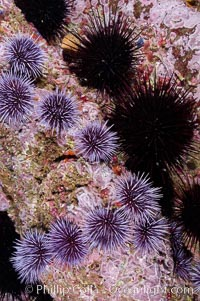 Purple and black sea urchins on a rocky reef.  The urchins will clear all kelp off a reef if their population is not held in balance by predictors.  Santa Barbara Island, Strongylocentrotus purpuratus