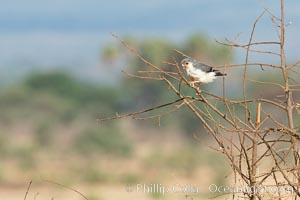 Pygmy falcon, the smallest raptor on the African continent, preys on insects and small reptiles and mammals, Meru National Park