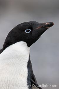 Adelie penguin, head portrait, Pygoscelis adeliae, Shingle Cove, Coronation Island, South Orkney Islands, Southern Ocean