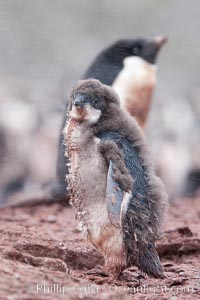 Adelie penguins chick, Shingle Cove, Pygoscelis adeliae, Coronation Island, South Orkney Islands, Southern Ocean
