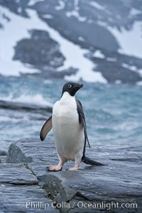 Adelie penguin, on rocky shore, leaving the ocean after foraging for food, Shingle Cove. Shingle Cove, Coronation Island, South Orkney Islands, Southern Ocean, Pygoscelis adeliae, natural history stock photograph, photo id 25174