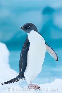 Adelie penguins, Pygoscelis adeliae, Brown Bluff