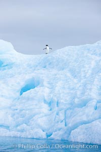 A tiny Adelie penguins stands atop an iceberg, Paulet Island