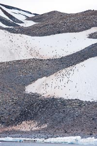 Adelie penguin colony covers the hillsides of Paulet Island, Pygoscelis adeliae
