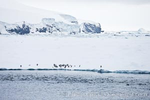 Adelie Penguins on fast ice, along the shore of Paulet Island, Pygoscelis adeliae